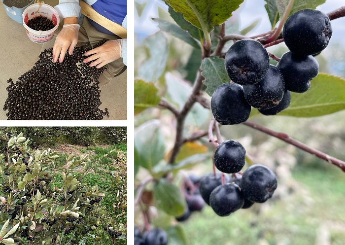 Montage présentant un champ d'aronie noire, une branche de fruits et le tri des fruits cueillis.